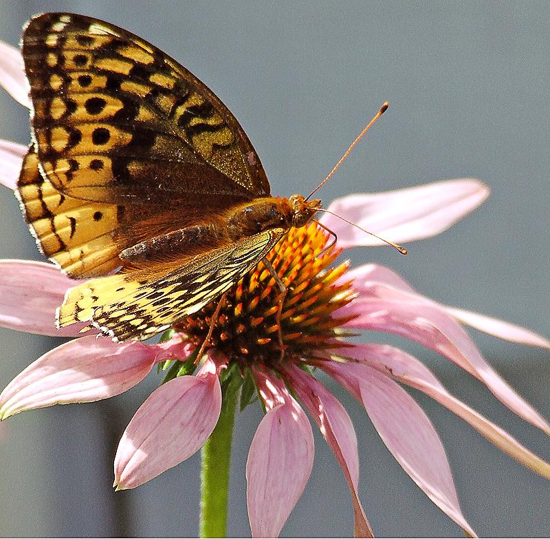 Summer's Butterfly
